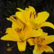 лилия к концу цветения всёравно стоит гордо