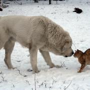 Азиатские овчарки терпимы ко всем животным