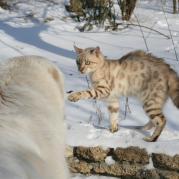 Азиатская овчарка и кошка