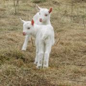 Чешско-заанентальские козлята
