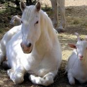 Друзья - лошадь и коза