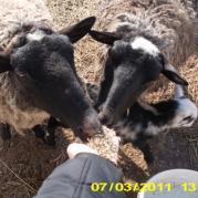 Овцы иногда ручные