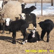 Романовские овцы и ягнята