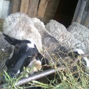Овцы любят и бурьян