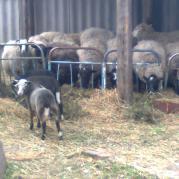 Овцы любят и сено