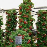 Способы выращивания клубники, способ №3