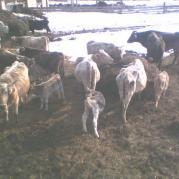 Крупный рогатый скот, уличное содержание на сене
