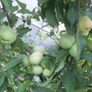 Дозревают яблоки на яблоне....