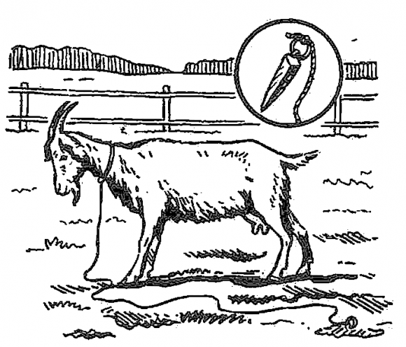 Привязывание коз.