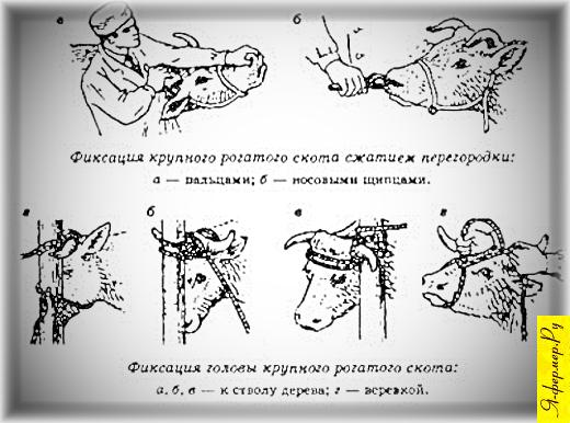 Фиксация крупного рогатого скота.