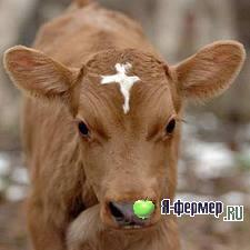 Кормление бычков на откорме. Содержание бычков на откорме.