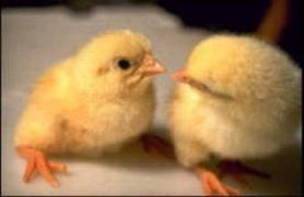 Цыплята.