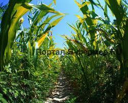 Как обрабатывать почву под кукурузу