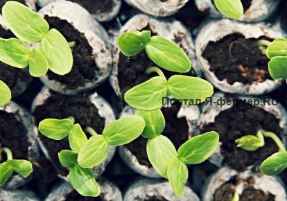Для посадки огурцов нужны семена высоких сортовых и посевных качеств, которые были куплены либо выращены у себя на...