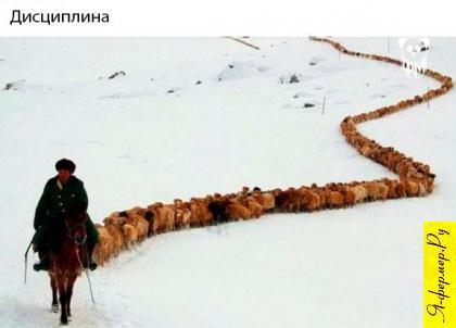 Отара овец гуськом