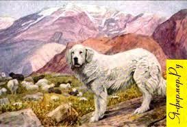 Собахи пастухи: описания, породы, фото