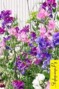 Душистый горошек: описание, размножение, выращивание, применение