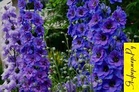 English Delphinium