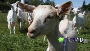 Ящур у коз: признаки, борьба, меры предосторожности