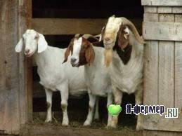 худоба коз, ожирение коз