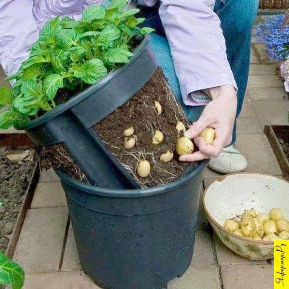 Способ выращивания картофеля в домашних условиях, в горшке. Инновационный способ выращивания картофеля в домашних условиях.