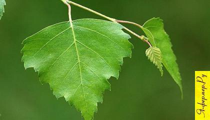 При ранах на поражённые участки тела накладывают жёванные берёзовые листья.