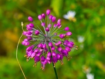 Вредные растения сенокосов и пастбищ