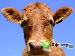 Корова фото.