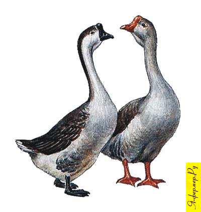 Чем кормить гусей