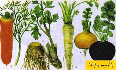 морковь, сельдерей, петрушка, репа, редька черная