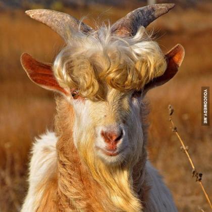 Красивый козёл.