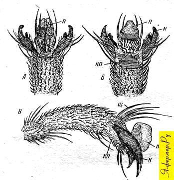Коготковый членик пчелы