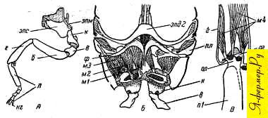 Ножка пчелы и мускулы, ее передвигающие