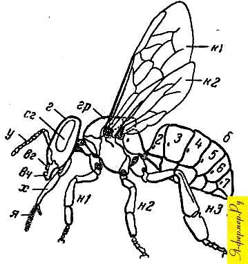 Общий план строения тела пчелы рисунок