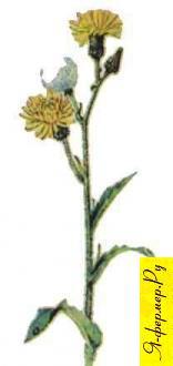 Осотовый мед: описание, применение, рецепты