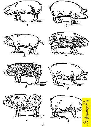 Отечественные породы свиней: эстонская беконная; литовская белая; латвийская белая; белорусская черно-пестрая; кемеровская; семиреченская; украинская степная рябая; муромская кемеровская; семиреченская; украинская степная рябая; муромская