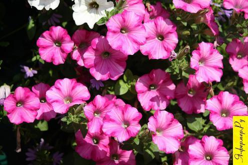 Петуния - это многолетнее растение семейства пасленовых, в культуре употребляется основным образом как однолетнее