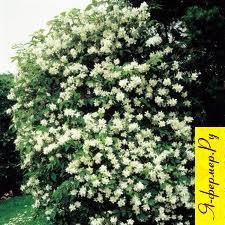 Чубушник: описание, разновидности, сорта, цветки, размножение