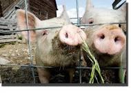 Выращиваем ремонтный молодняк свиней