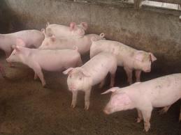 Экономное кормление свиней зимой