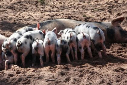 Свинья и поросята.