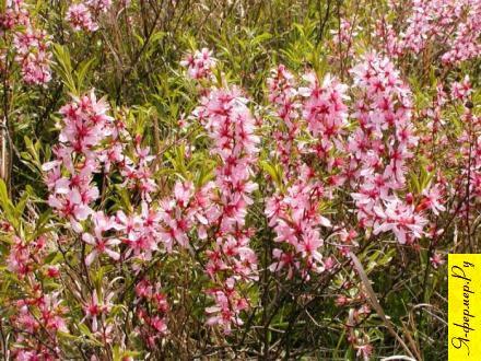 Бобовник (степной миндаль): описание, цветение, размножение, применение