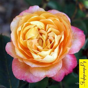 Описание роз. Сорта Роз. Группы роз.