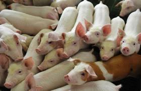 Выращиваем свинью: через 8 месяцев – центнер свинины