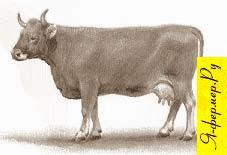 Швицкая порода крупного рогатого скота рисунок
