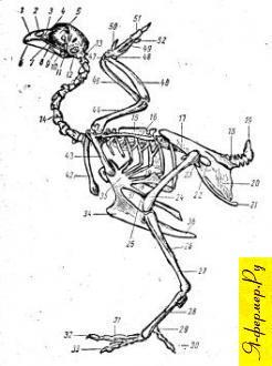 Скелет курицы