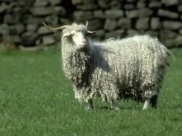 козы пуховые фото