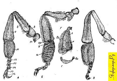Задние ножки у пчёлы