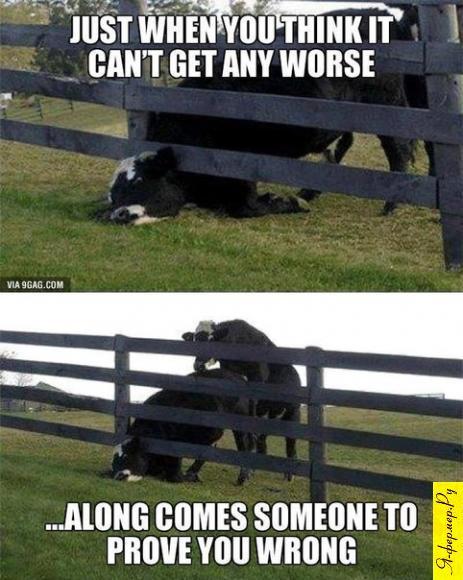 Корова застряла в заборе, бык воспользовался ситуацией.