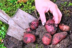 Удобрения под картофель фото.